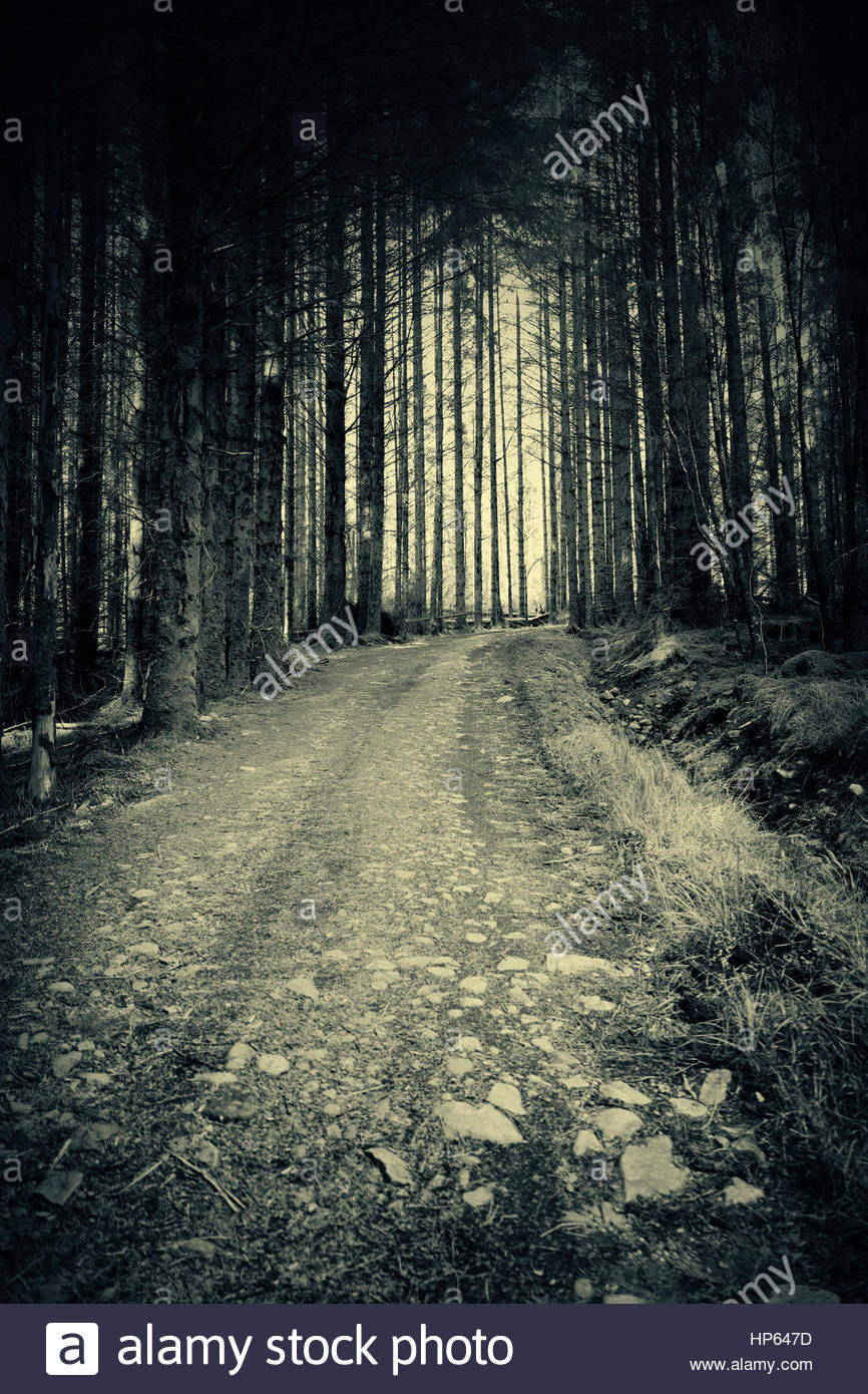 Pine Forest Trees Path Dark Perspective Spooky Stock Photo