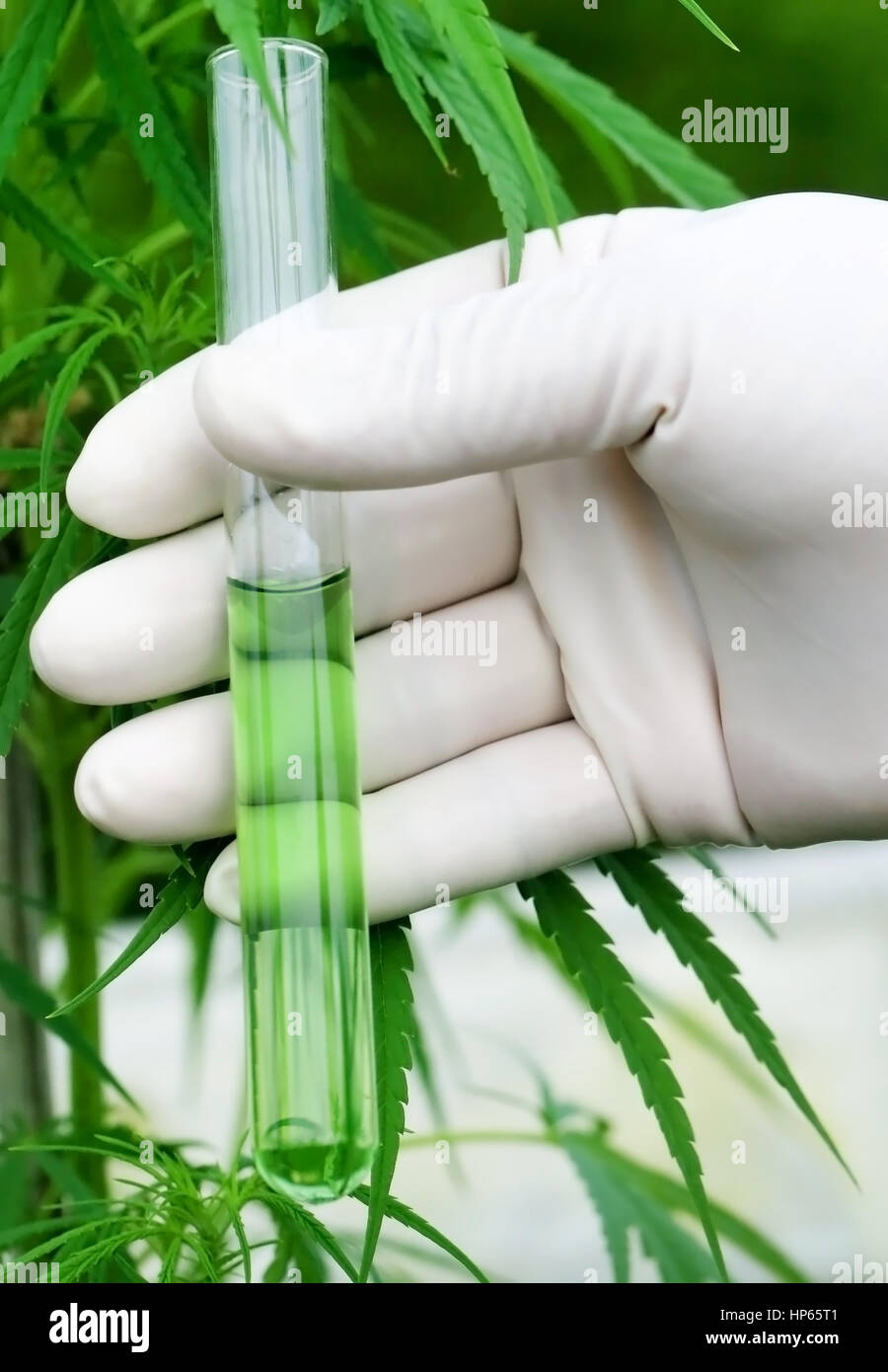 Cannabis extract in test tube holding by scientist - Stock Image