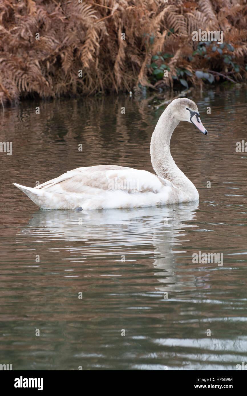 Mute swan (Cygnus olor) cygnet swimming - Stock Image