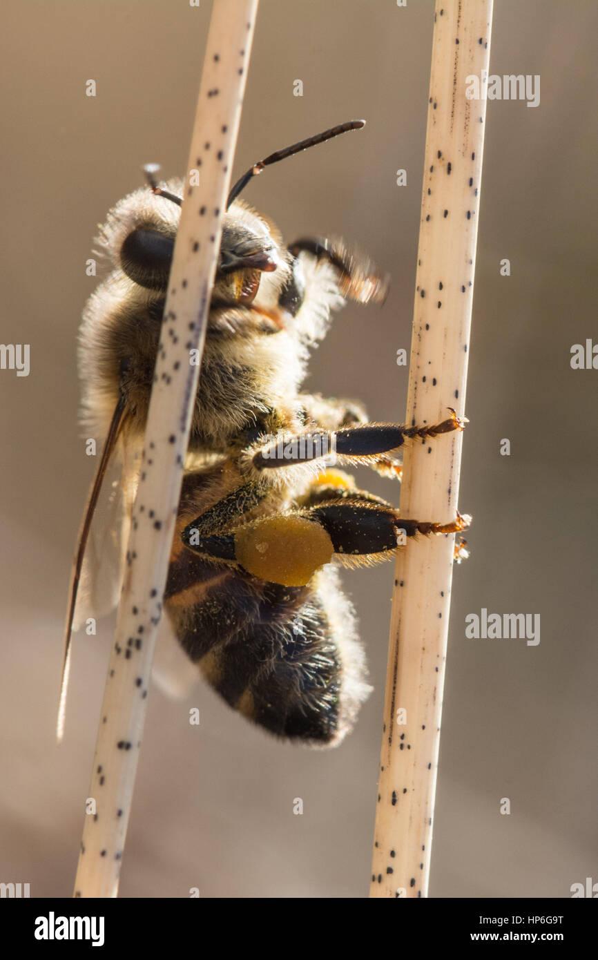 Close-up of honey bee - Stock Image