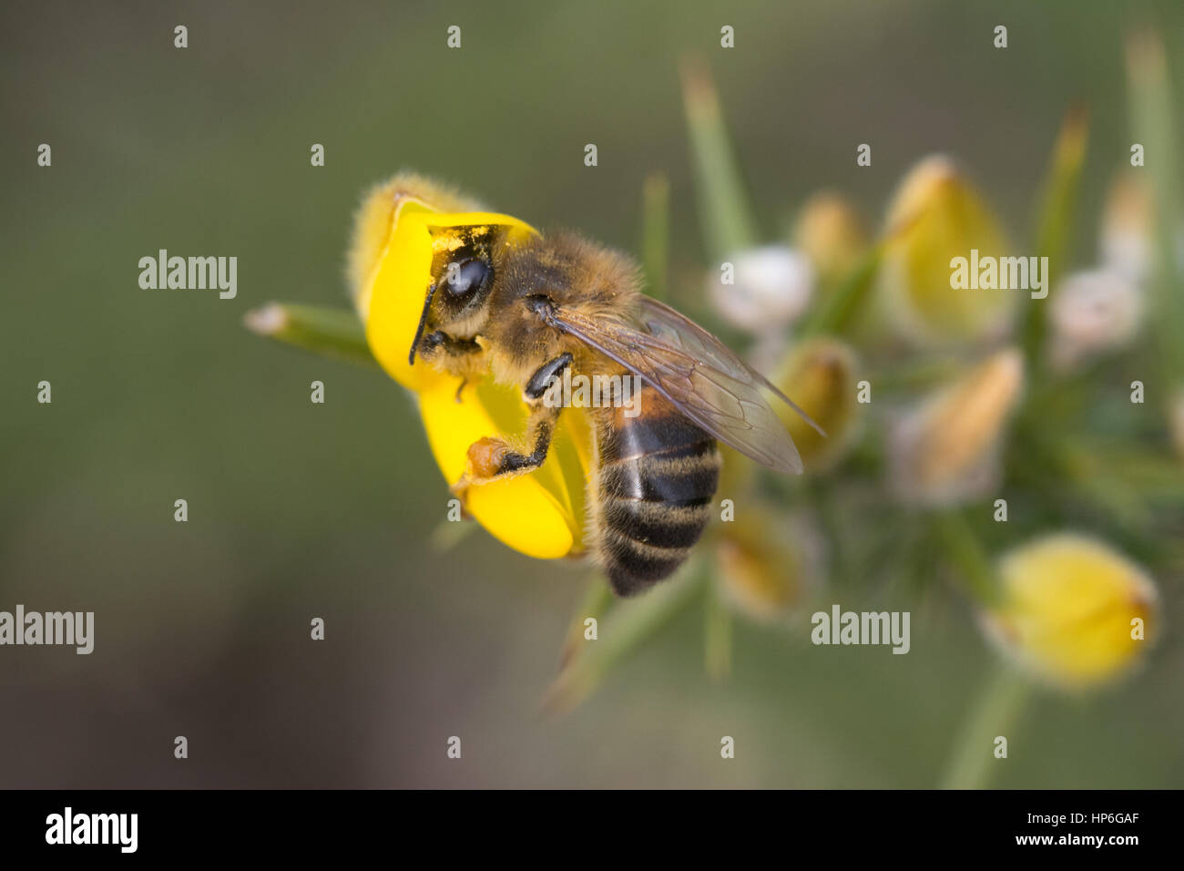 Close-up of honey bee on gorse flower - Stock Image