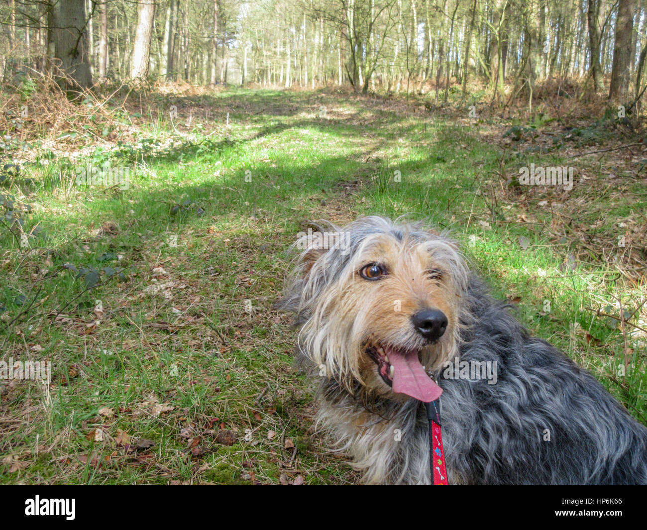 A relaxed dog taking a well earned break whilst walking through the Hands Leaslow woods near the hamlet of Chartley - Stock Image