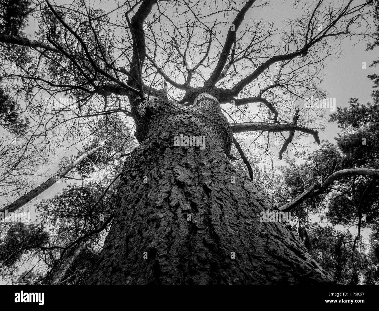Black and white, looking up into the tree canopy - Stock Image
