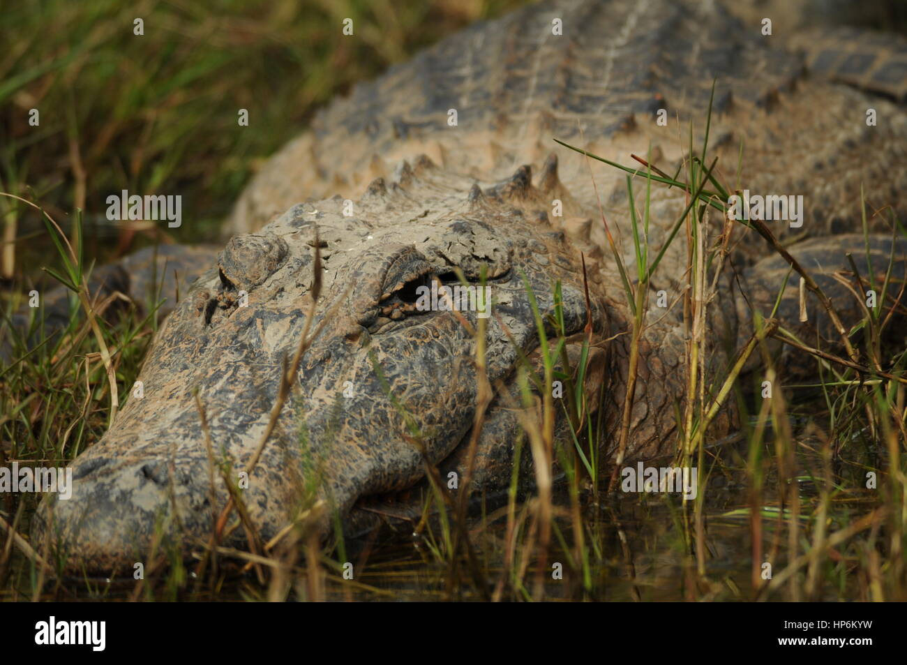 An American Alligator resting on the side of a bank at sea rim state par. Stock Photo