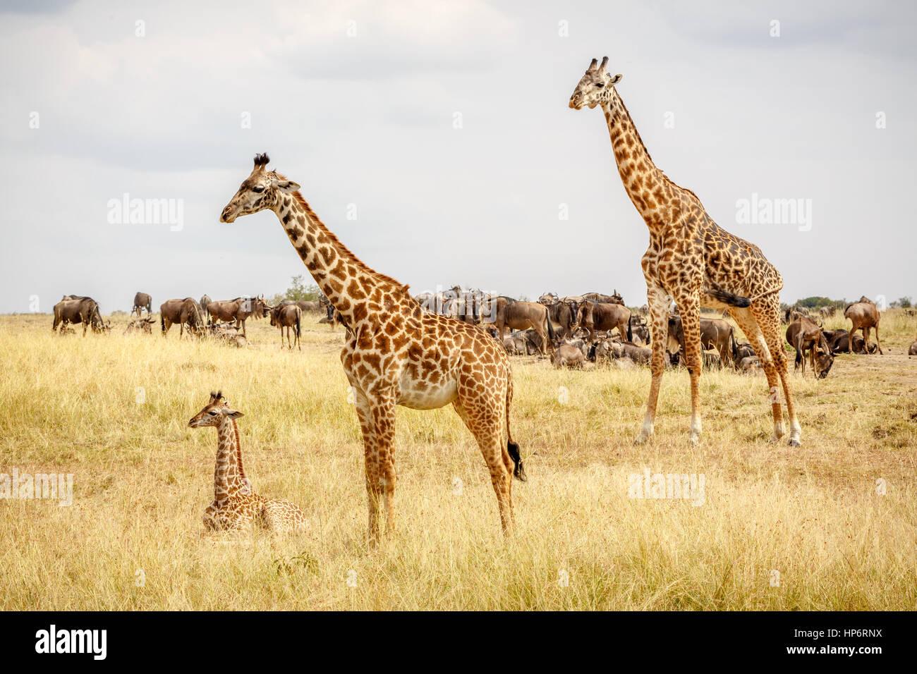A familiy of Maasai giraffes with calf, Maasai Mara, Kenya - Stock Image