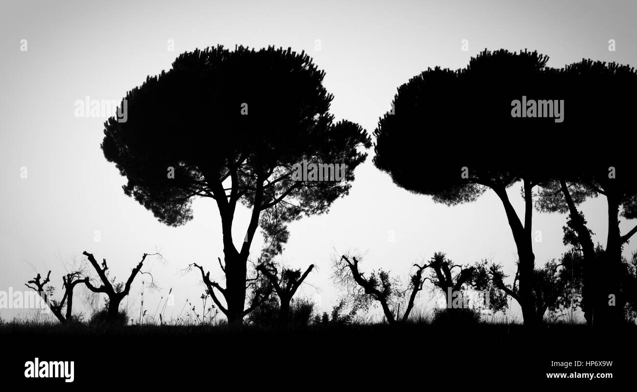 Black and white italian landscape with olive and pine trees in a haunting and dead atmosphere. - Stock Image