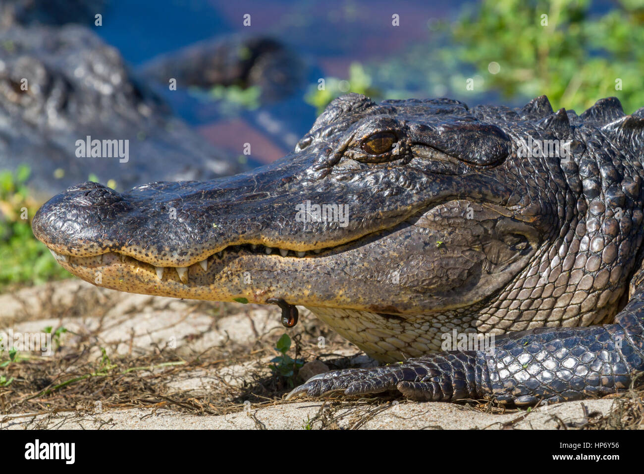 American alligator close up - Stock Image