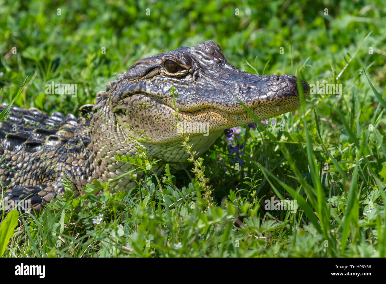 alligator in the green grass - Stock Image