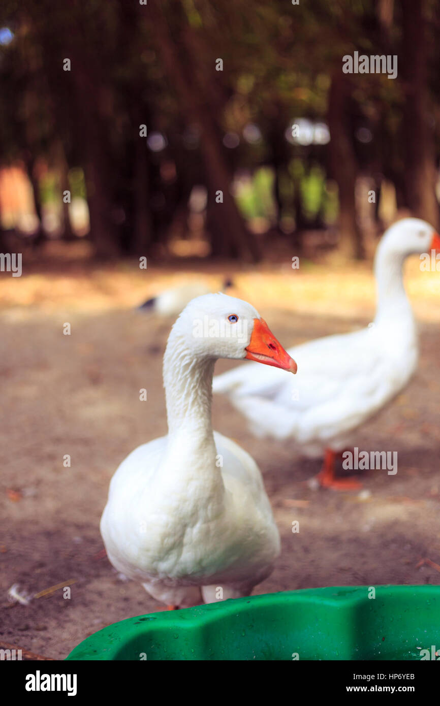 Geese - Stock Image