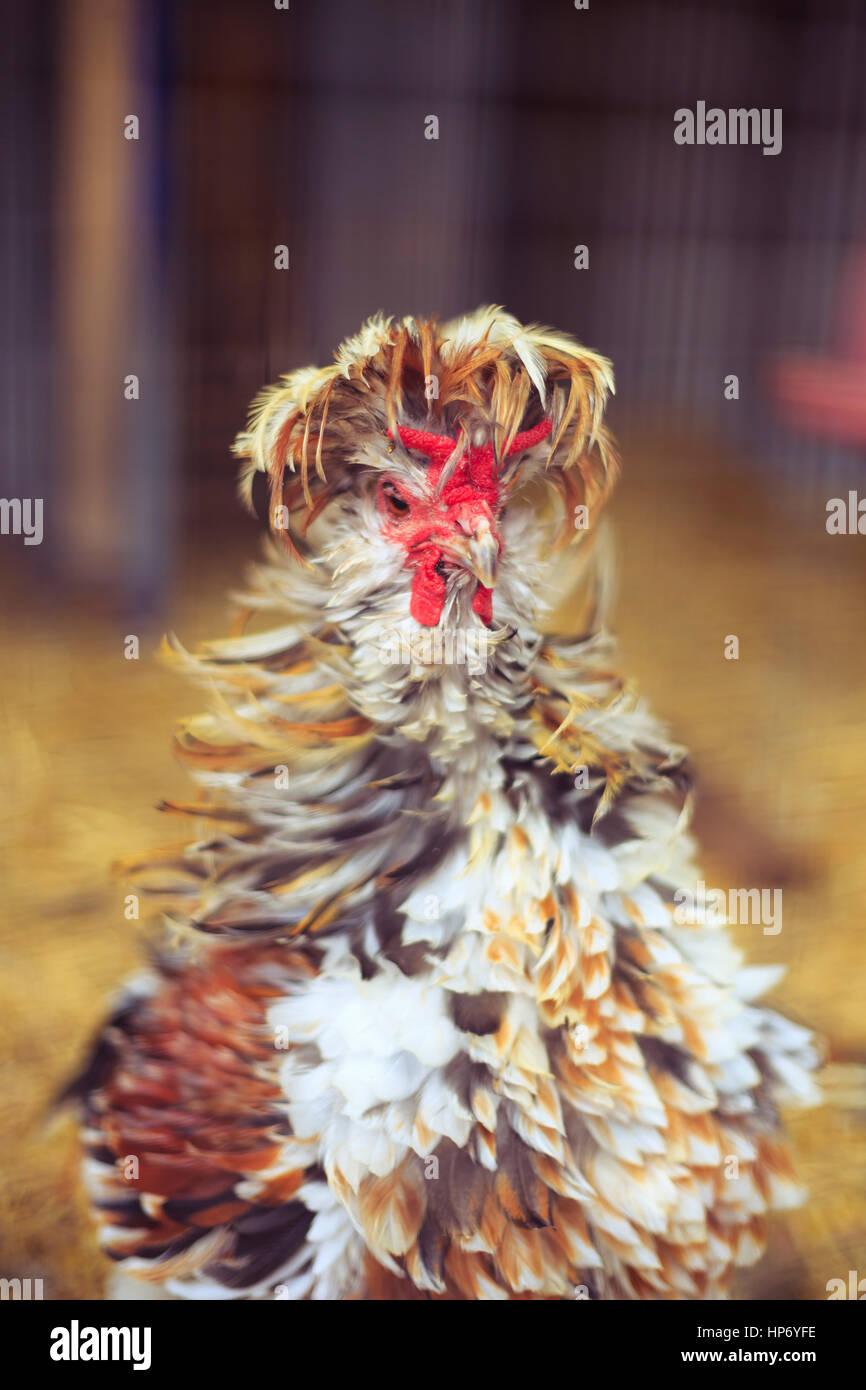 Poultry Portrait - Stock Image