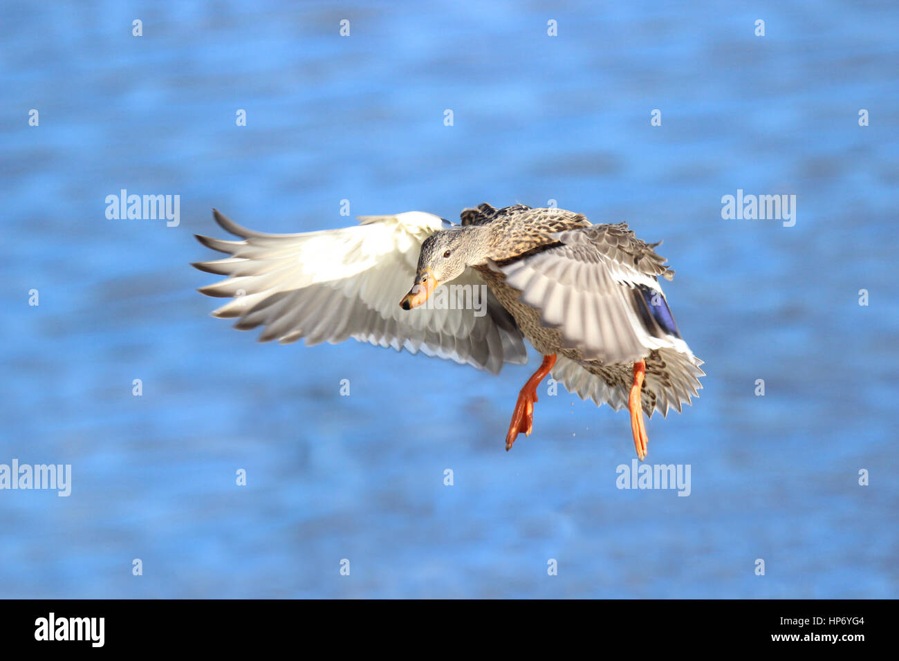 A female mallard duck flying in to land on a pond - Stock Image