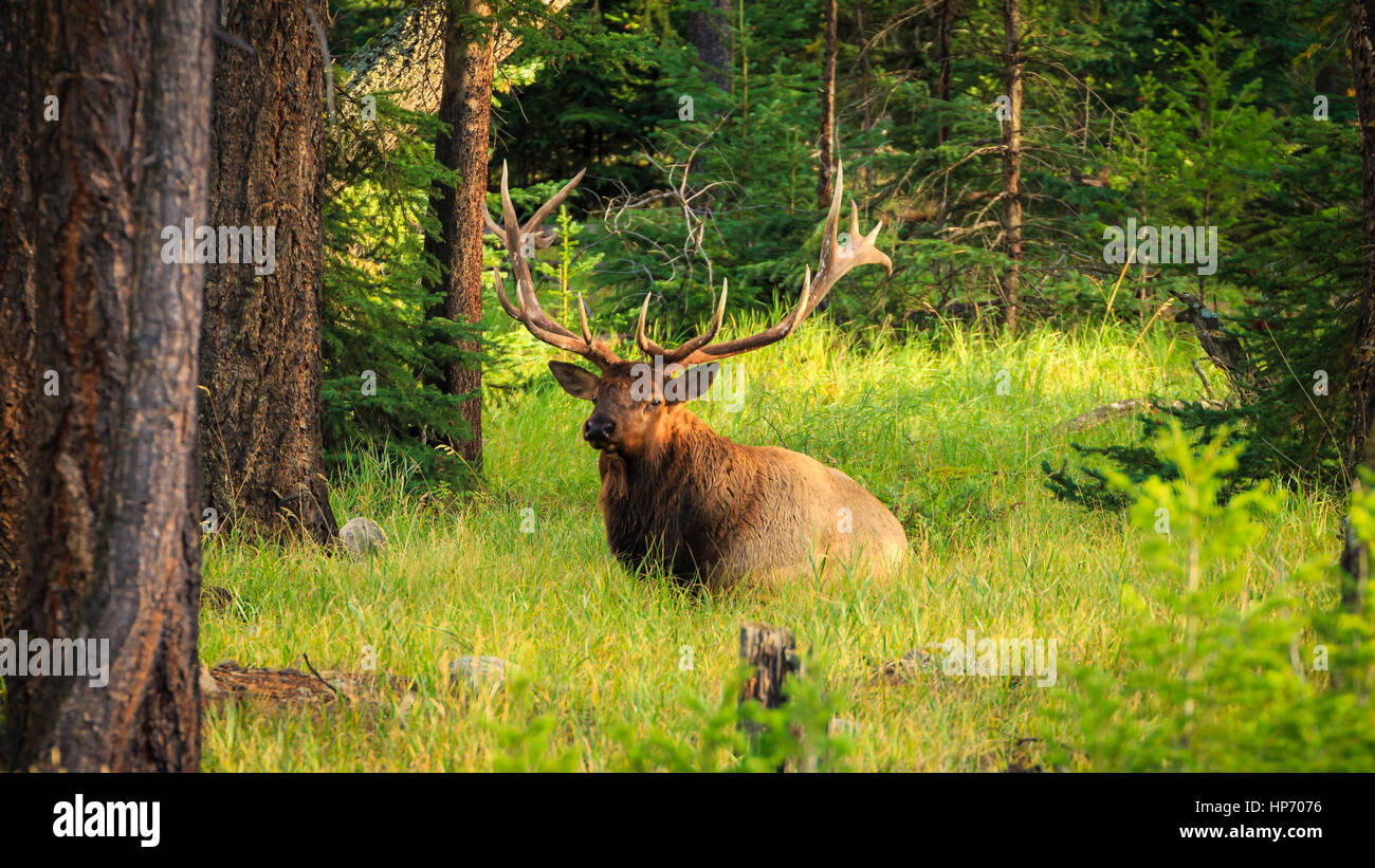 Male bull Elk relaxing in the sunshine near Jasper, Alberta, Canada - Stock Image