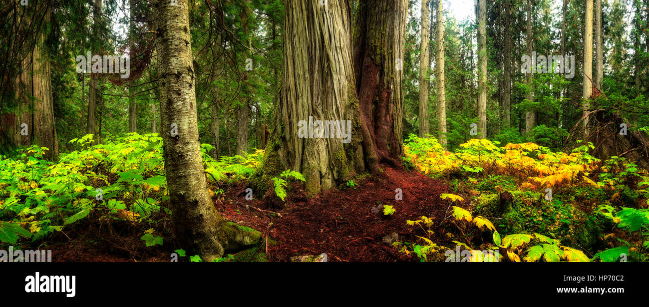 Canadian Old Growth Rain Forest, Mt Robson National Park, British Columbia, Canada - Stock Image