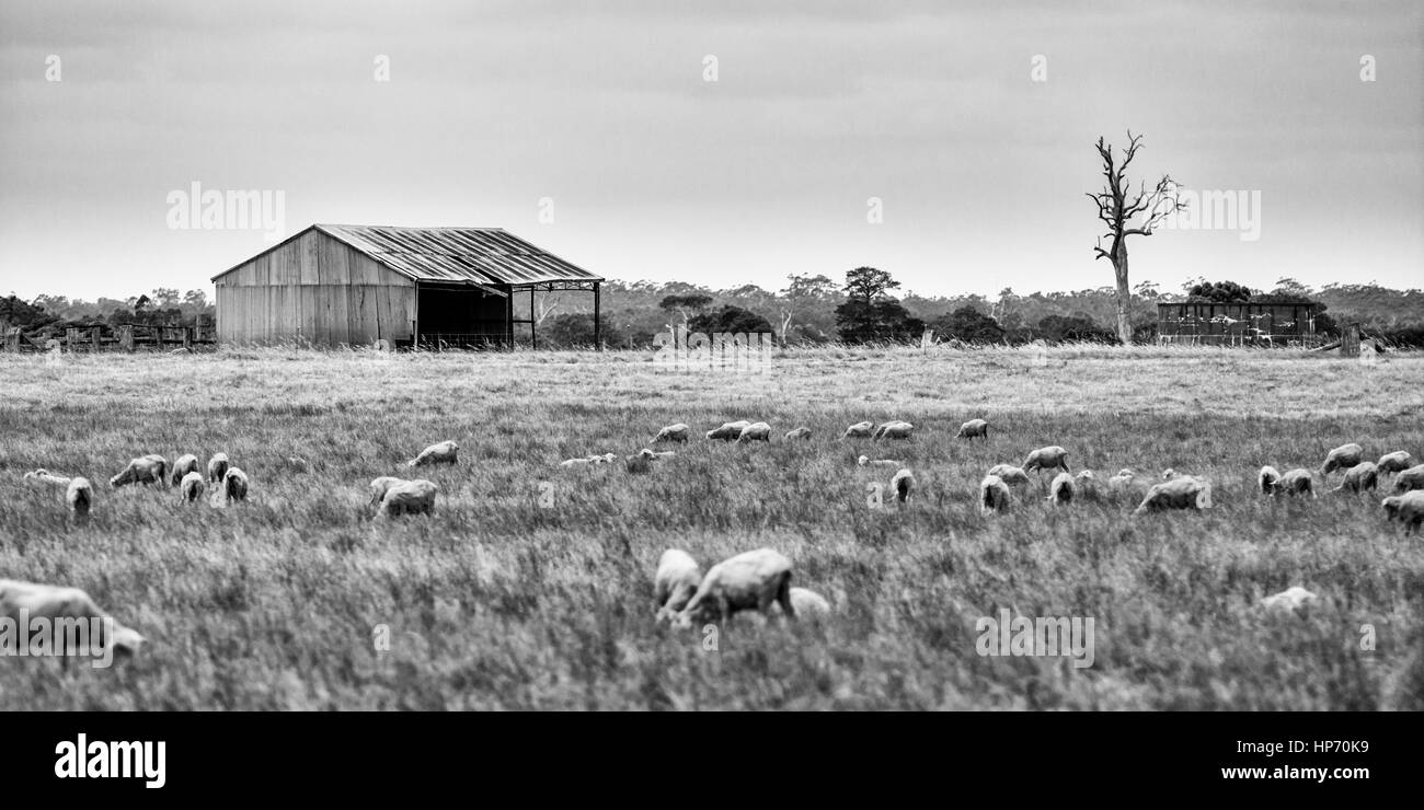 Sheep Farm In Australia - Stock Image