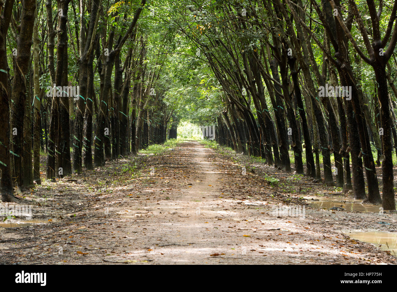 Para Rubber Tree Plantation 'Hevea brasiliensis' , giving a cathedral effect, converging treeline & - Stock Image