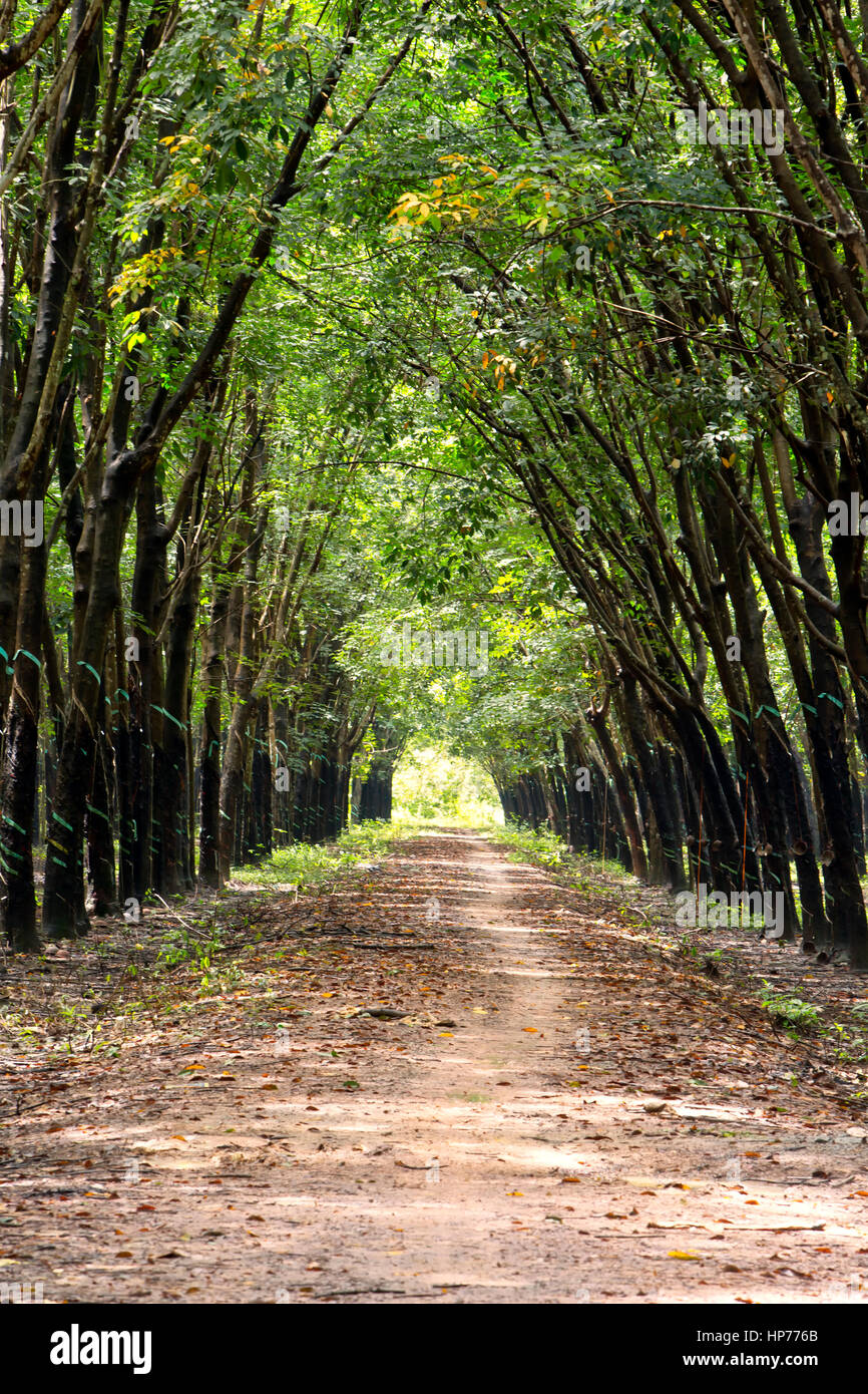Para Rubber Tree Plantation 'Hevea brasiliensis' , giving a cathedral effect, coverging roadway &   - Stock Image