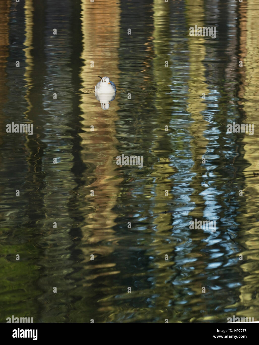 Black-headed gull on pattern formed by reflections of tree trunks on water - Stock Image