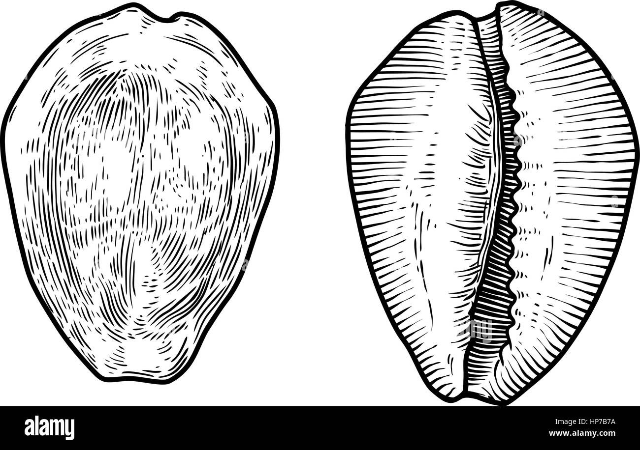 Money cowrie shell illustration drawing engraving ink