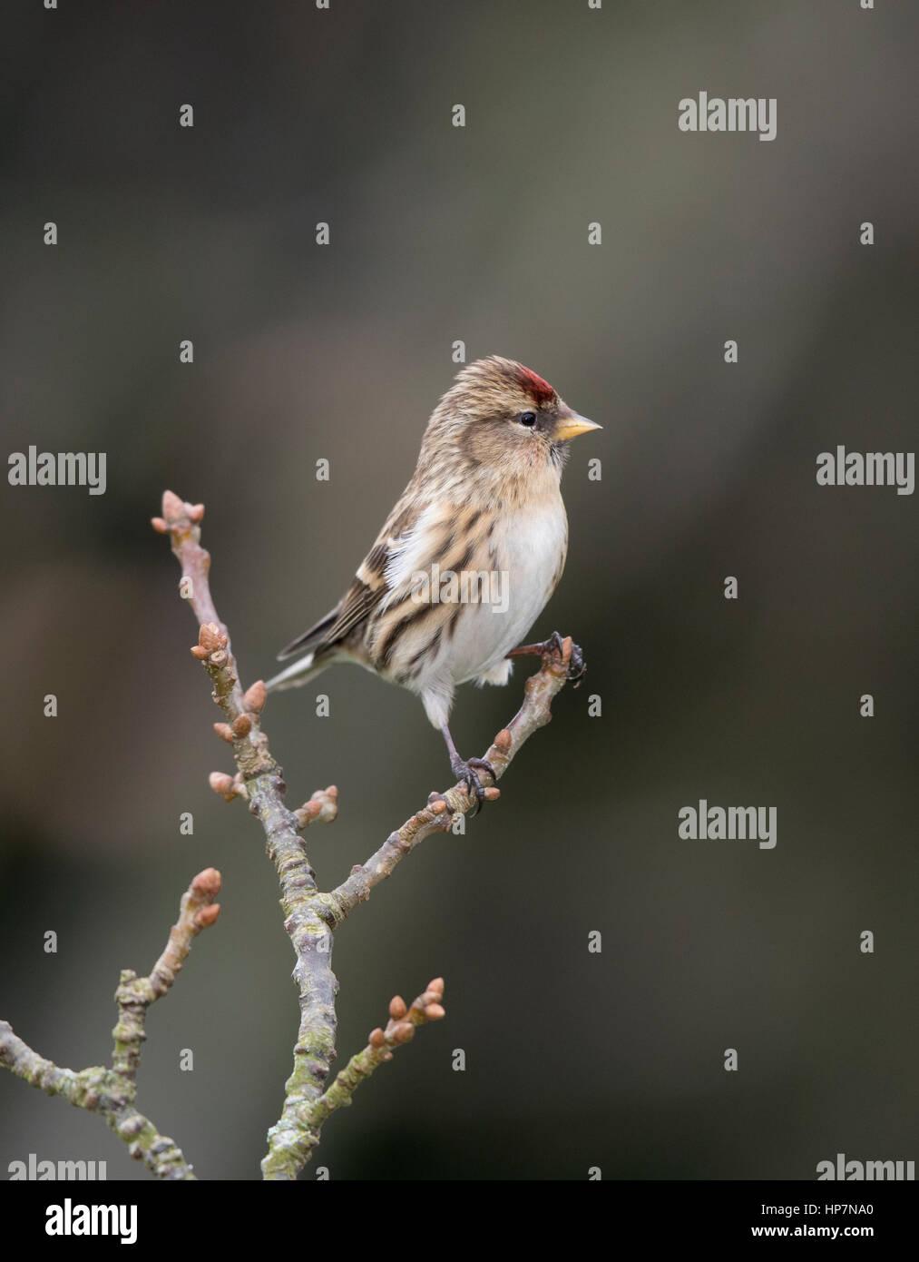 Redpoll (Carduelis falammea),winter, Shropshire borders - Stock Image