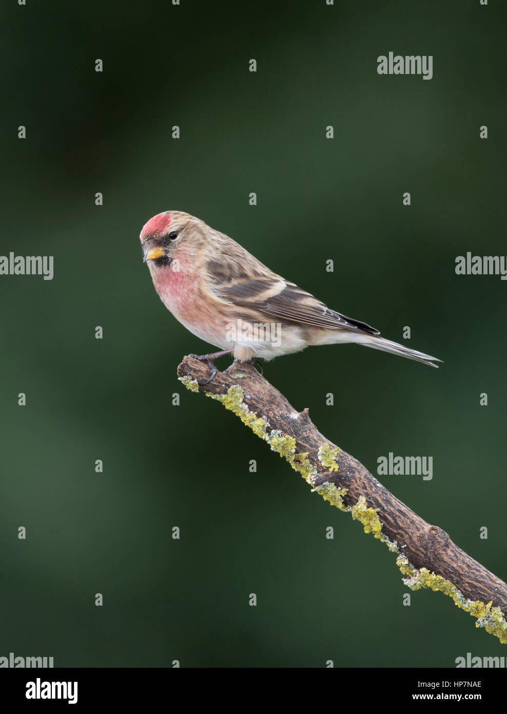 Redpoll (Carduelis falammea) on a branch,winter,January 2017 - Stock Image