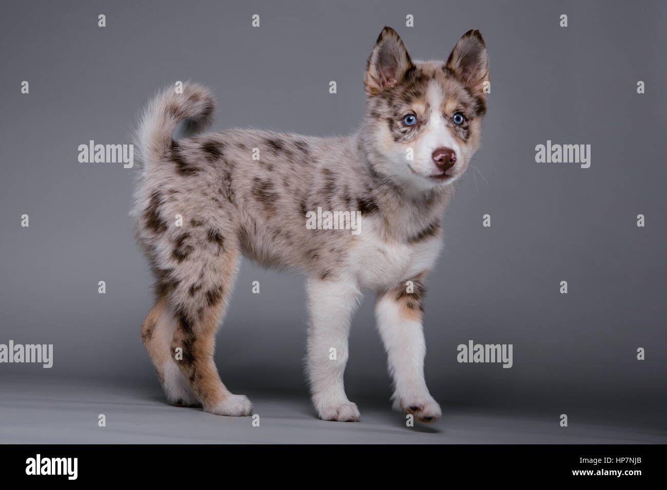 Full-body studio portrait of a cute brown and white pomsky puppy looking at camera. Stock Photo