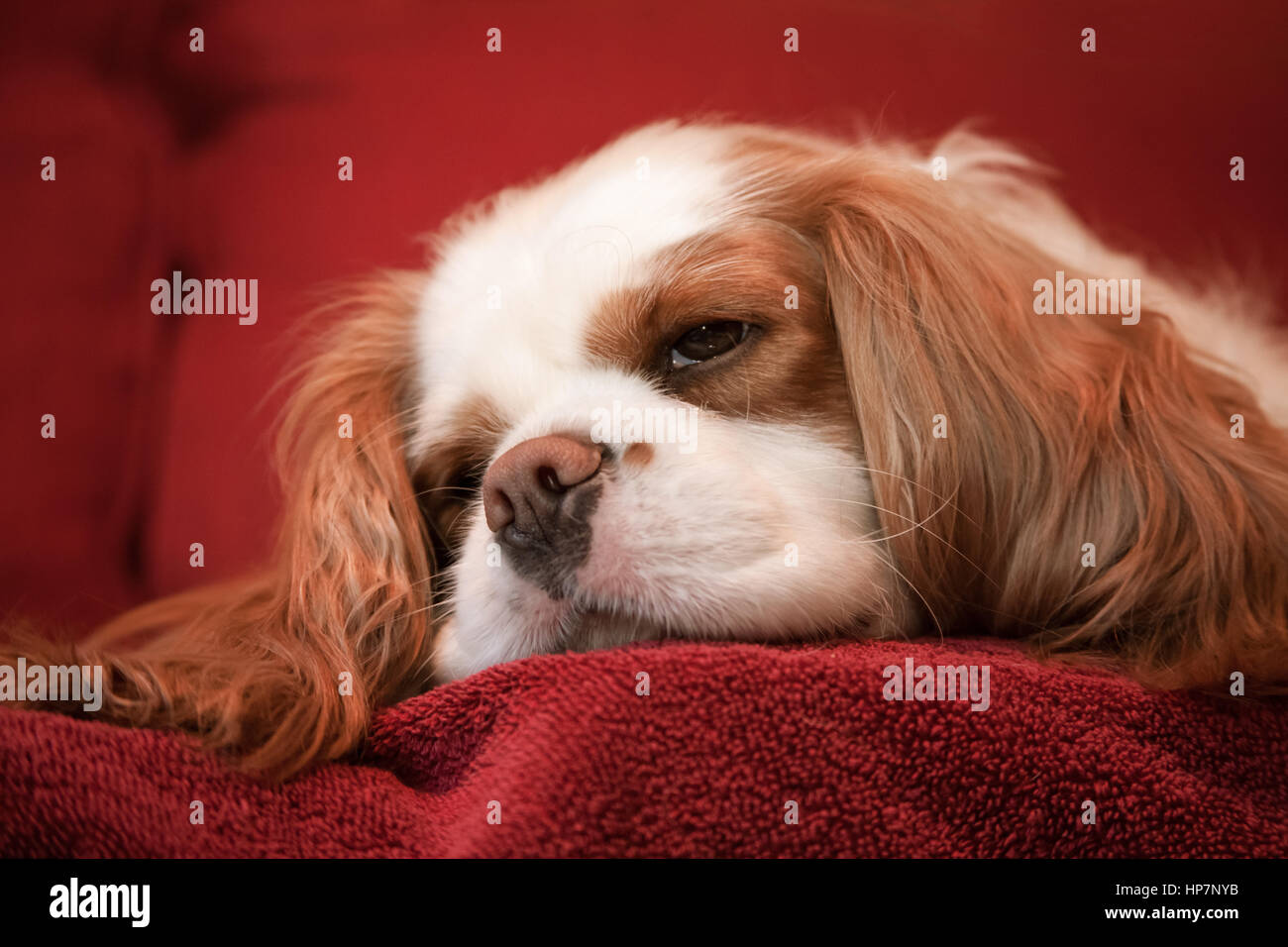 Mandy, a Cavalier King Charles Spaniel, sleeping on a towel-covered couch - Stock Image