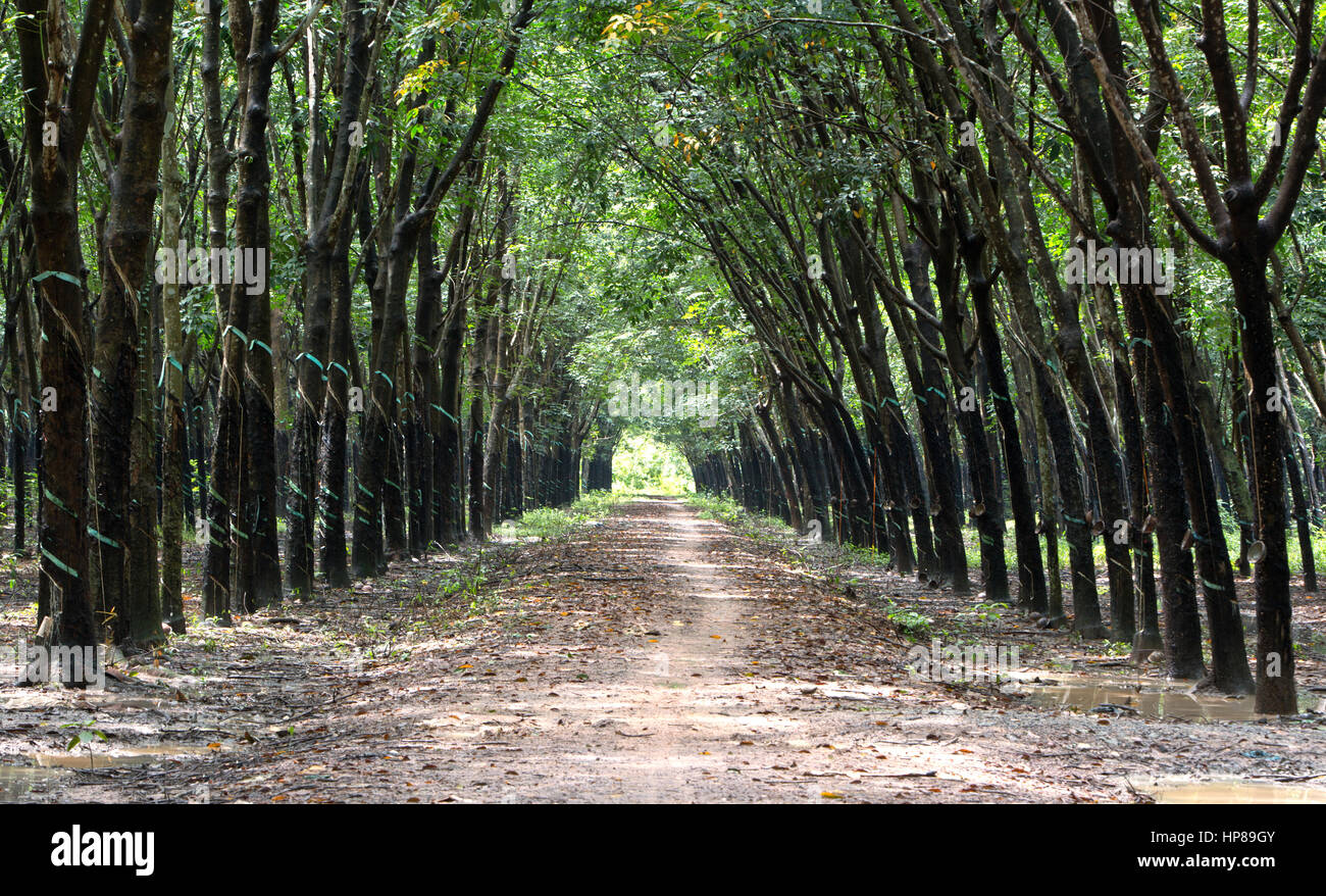 Para Rubber Tree Plantation 'Hevea brasiliensis' , converging treeline & roadway giving a cathedral - Stock Image
