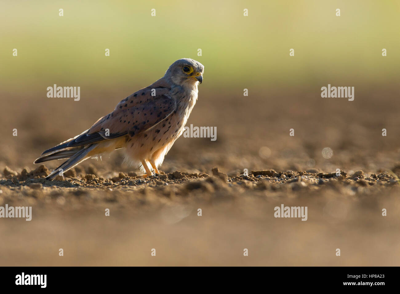Close encounter with a beautiful male kestrel in Richmond Park - Stock Image