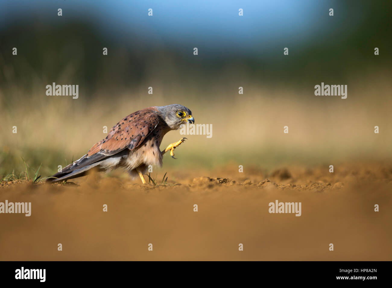 A close encounter with a male kestrel in Richmond Park - Stock Image