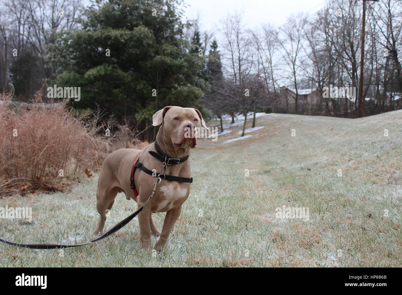 Pit Bull.  Standing at alert.  Looking ahead - Stock Image