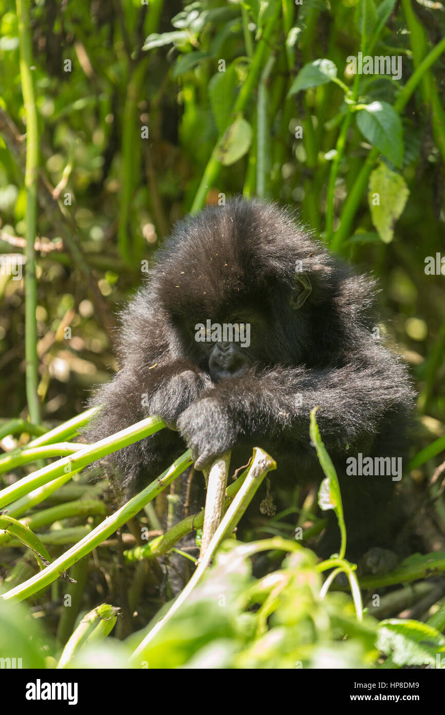 Baby Mountain Gorilla (Gorilla beringei beringei) from Susa Group in Volcanoes National Park (Parc National des - Stock Image