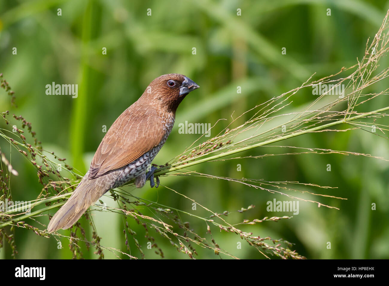 Scaly-breasted Munia eating grass seed - Stock Image