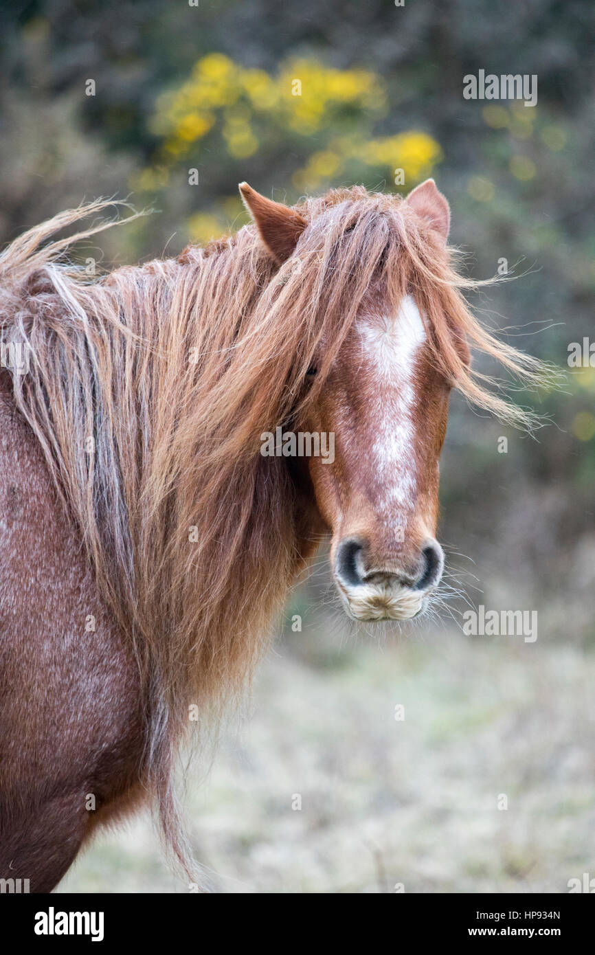 Wild Carneddau Pony is having a bad hair day due to the wind as they graze a Site of Special Scientific Interest - Stock Image