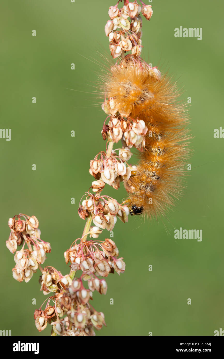 A Salt Marsh Moth (Estigmene acrea) caterpillar (larva) feeds on Curly Dock (Rumex crispus). - Stock Image