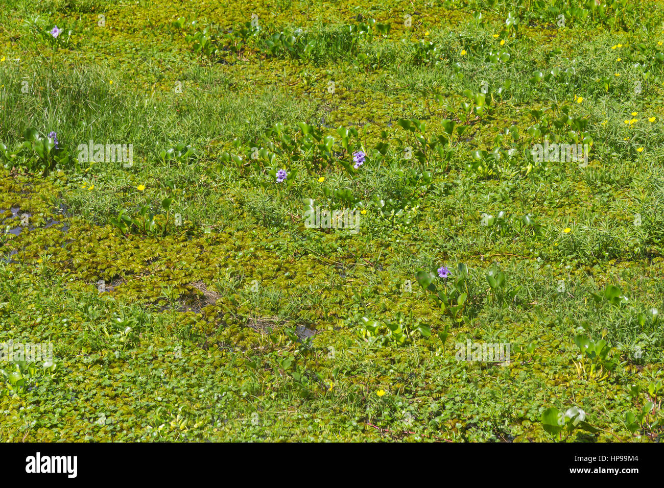 Swamp in Lagoa do Peixe lake, Mostardas city, Rio  Grande do Sul, Brazil. Stock Photo