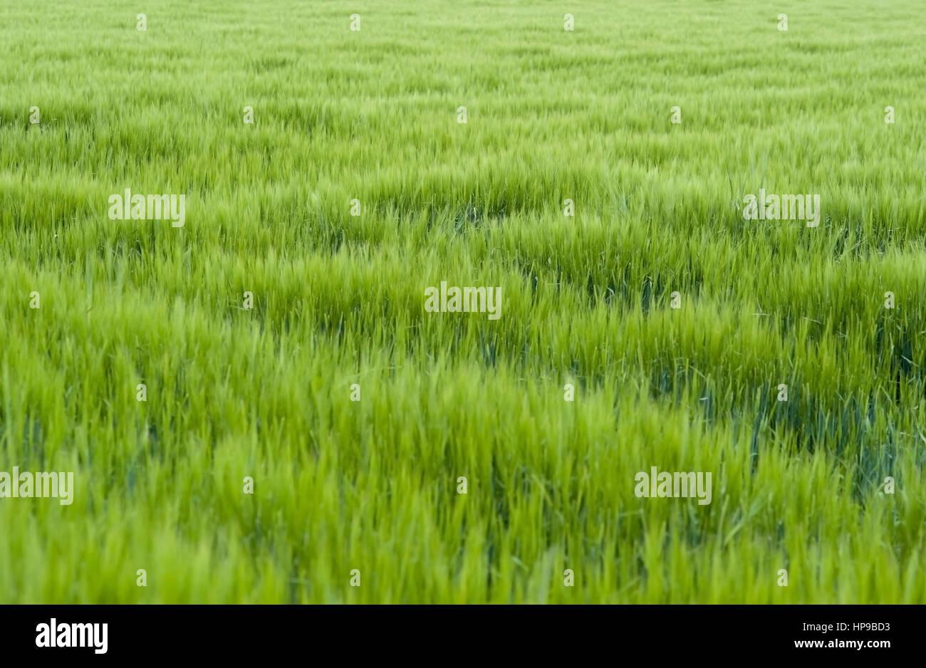 Gruenes Getreidefeld, Fruehsommer - green cornfield Stock Photo