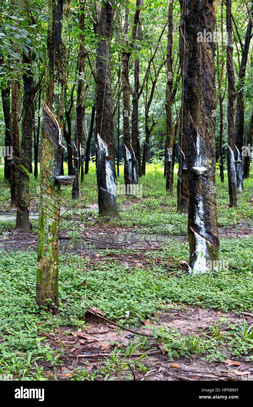 Para Rubber Tree Plantation 'Hevea brasiliensis' ,  white latex sap dripping into collection pan. - Stock Image