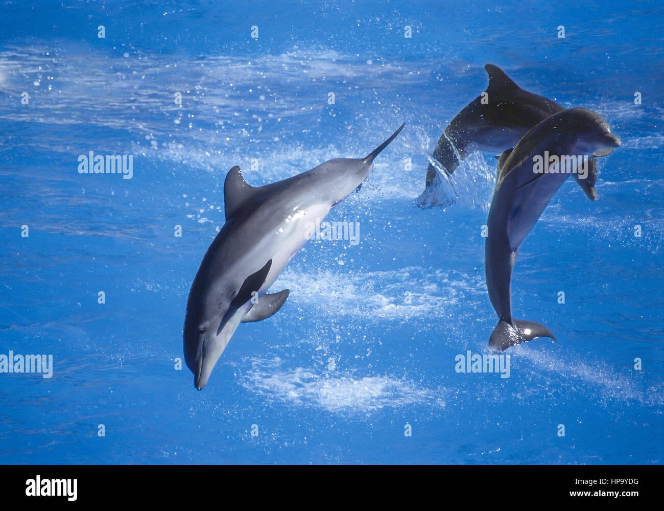 Drei Delfine springen bei Delfinshow - Stock Image