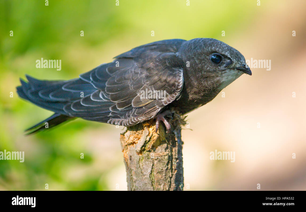Common Swift (Apus apus) sitting on a branch - Stock Image