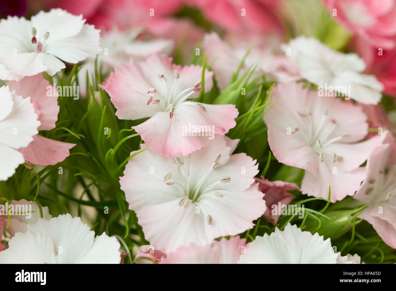 Pink and white sweet william like spring background outdoor blur pink and white sweet william like spring background outdoor blur mightylinksfo
