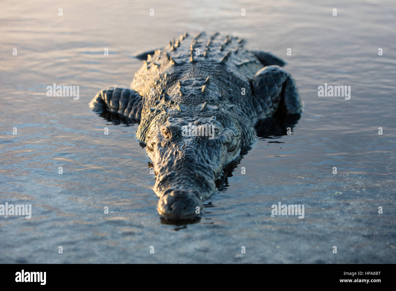 A stealthy American crocodile lies just under the surface of a lagoon off the coast of Belize. These large carnivores Stock Photo