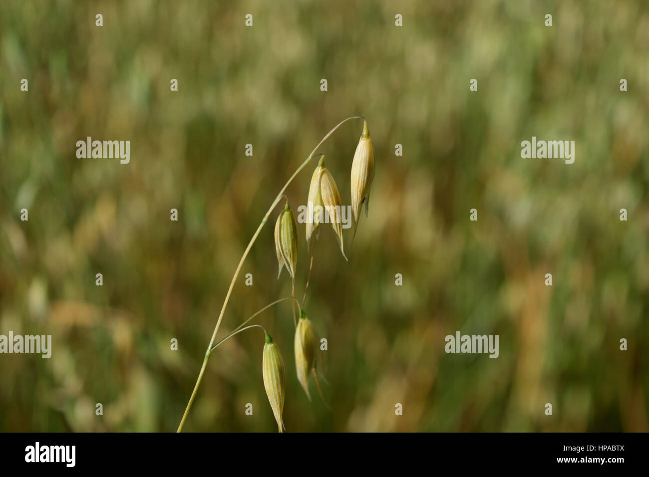 Oat Detail with Blurred Background - Stock Image