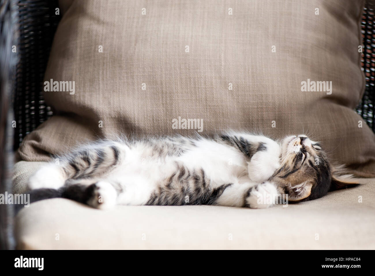 Tabby kitten lying on back,sleeping - Stock Image