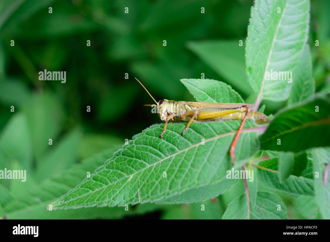 Closeup of Grasshopper on Flower Leaf - Stock Image