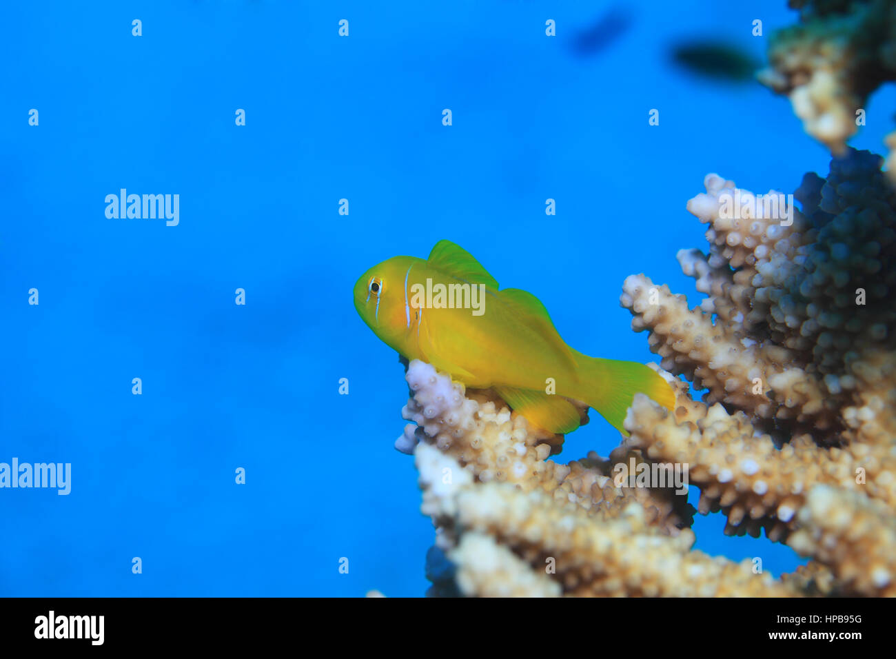 Lemon coral goby fish (Gobiodon citrinus) underwater on stony coral in the Red Sea - Stock Image