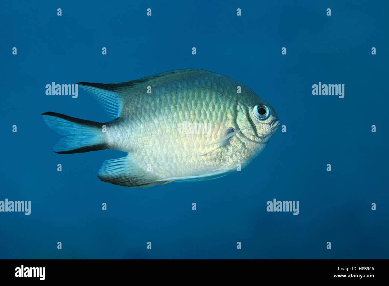 Whitebelly damsel fish (Amblyglyphidodon leucogaster) underwater in the Red Sea Stock Photo