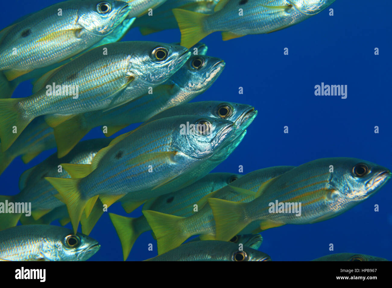 Dory snapper (Lutjanus fulviflamma) underwater in the tropical Red Sea Stock Photo