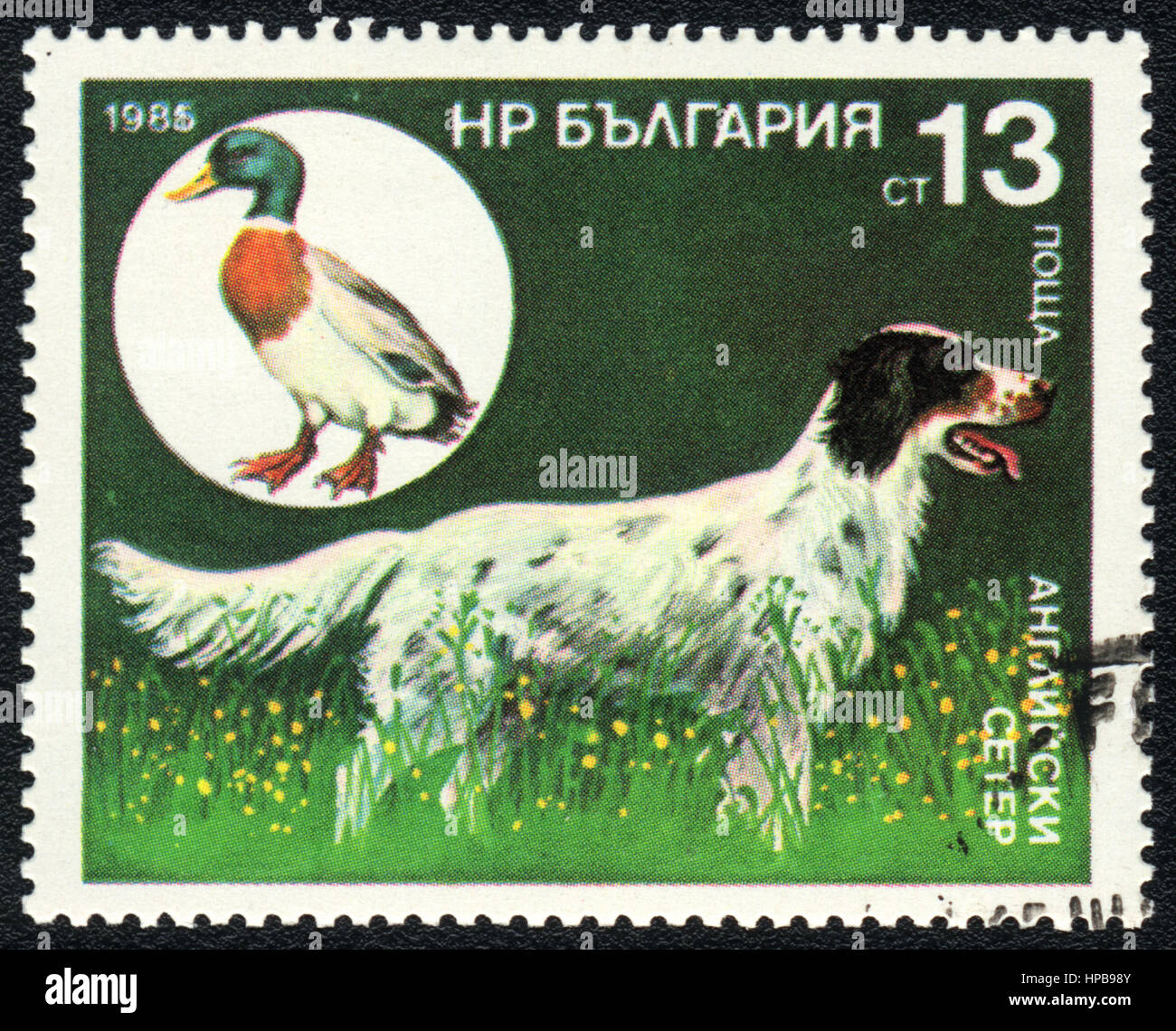 A stamp printed in Bulgaria shows  a English Setter and wild mallard,  from series Breeds of hunting dogs, circa - Stock Image
