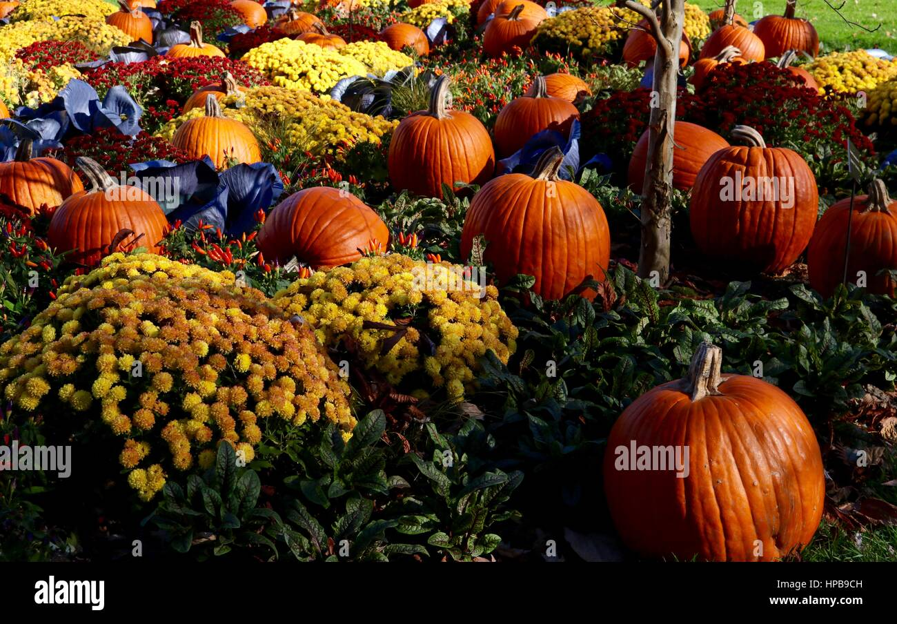 Pumpkin farm with mums. - Stock Image