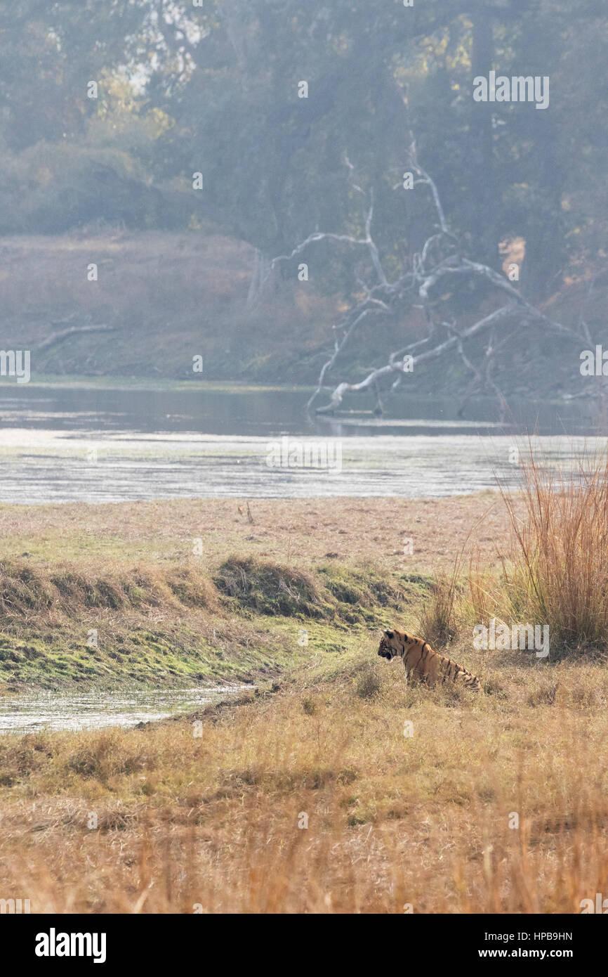 Tiger and landscape, Tadoba National Park, Maharashtra State, india Asia - Stock Image